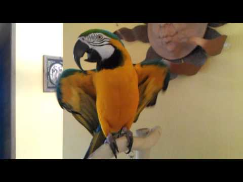 Tik Tok - Ke$ha (Macaw Singing/Dancing)