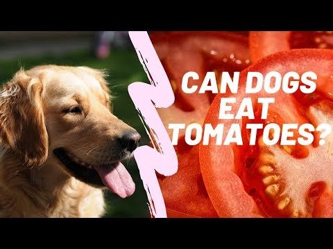 Can Dogs Eat Tomatoes? The Good and the Bad