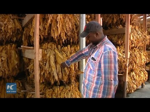 Chinese-funded tobacco farmers in Zimbabwe gear up for 2017 marketing season
