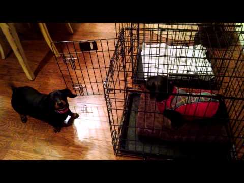 """Dachshund Nation """"Get out of my Crate"""""""