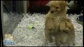 Pure Breed Mini Poodles Puppies