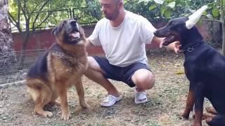 7 Aylık Doberman (April) ve 15 Yaşındaki Alman Çoban Köpeği (Efe)