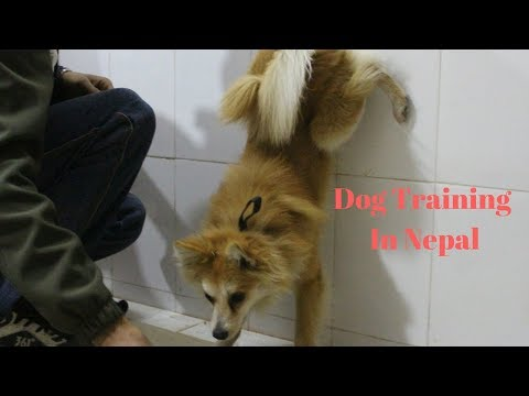 Dog Training japanese spitz mix