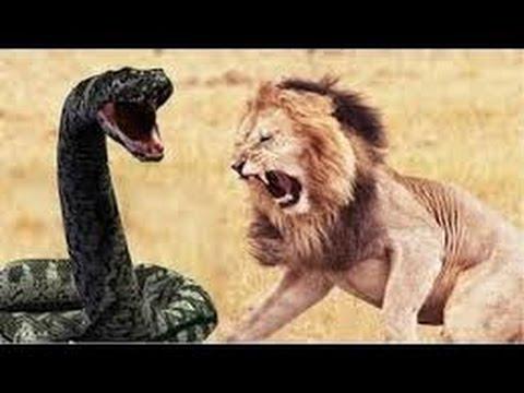 Komodo Dragon vs King Cobra Komodo Dragon Documentary 2016 ...