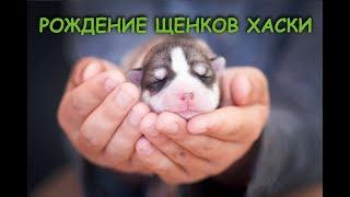 Роды собаки хаски. Собака рожает. Рождение щенков хаски.