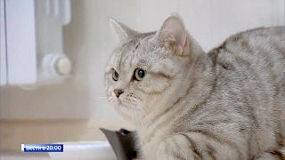 Амурский кот проходит сквозь стены и «лечит» болезни