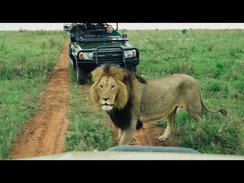 APPROACHED BY LIONS!