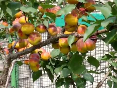 Вопрос: Почему в Беларуси плохо растут абрикосы?
