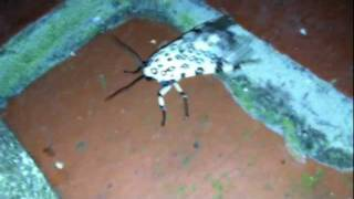 The Leopard Moth / From Fuzzy Black Thing To Beautiful Creature!