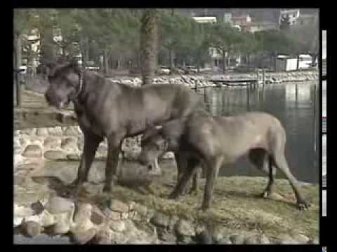 Про породу собак - Немецкий дог