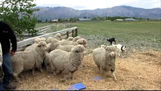 ニュージーランドで見た牧羊犬(ボーダーコリー)に集められる羊達です...