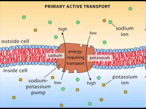 Primary Active Transport Youtube