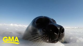 Here's how climate change is thinning out ice and threatening baby seals l GMA