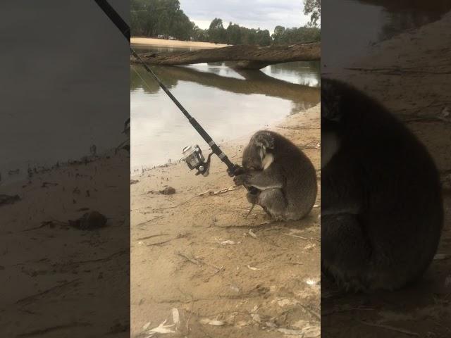 Koala fishing
