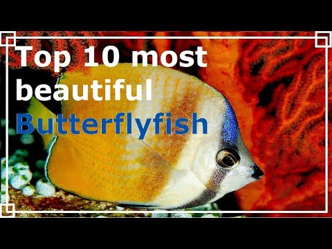 Top 10 Most Beautiful Butterflyfish
