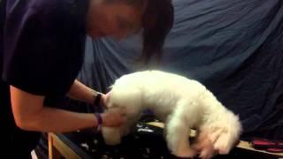 Grooming a Poochon/Bichpoo