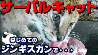 【獰猛な大型猫】サーバルキャットにジンギスカン1㎏あげたら興奮しすぎて野生化❗️