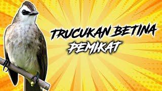 Download Lagu Suara Burung Trucukan Jantan Gacor Ropel Suara Jernih | Suara Burung Crukcuk | Suara Burung Merbah mp3
