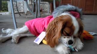 Annabelle Cavalier King Charles Spaniel With Her New Coat!