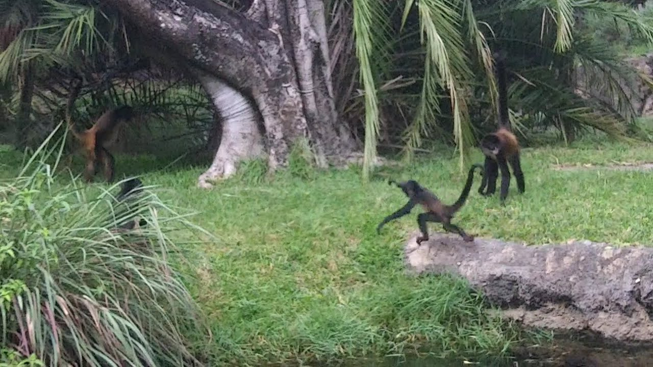 Spider Monkeys of The Palm Beach Zoo - YouTube