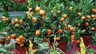 Como ter um Pé de Mexerica dando Frutos no Vaso