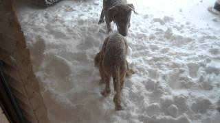 Puppies Playing In Oklahoma Snow