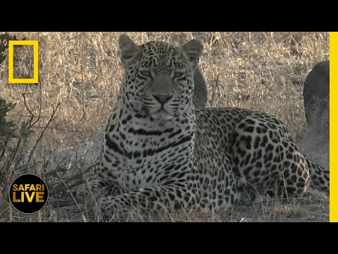 Safari Live - Day 380 | National Geographic