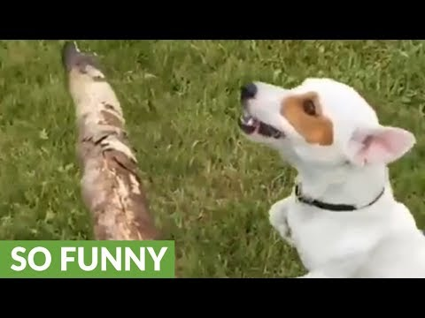 Jack Russell leaps for stick in glorious slow motion