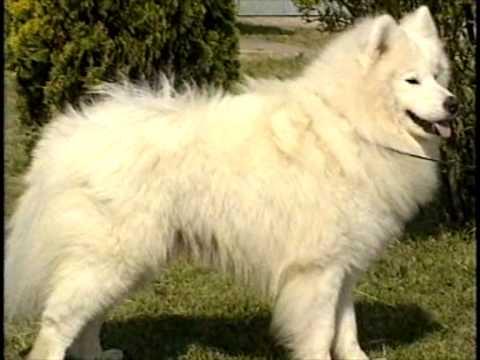 Вопрос: Как назвать собаку породы самоед?
