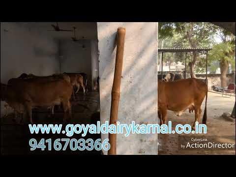 GOYAL DAIRY FARM||KARNAL HARYANA ||COW,BUFFALO