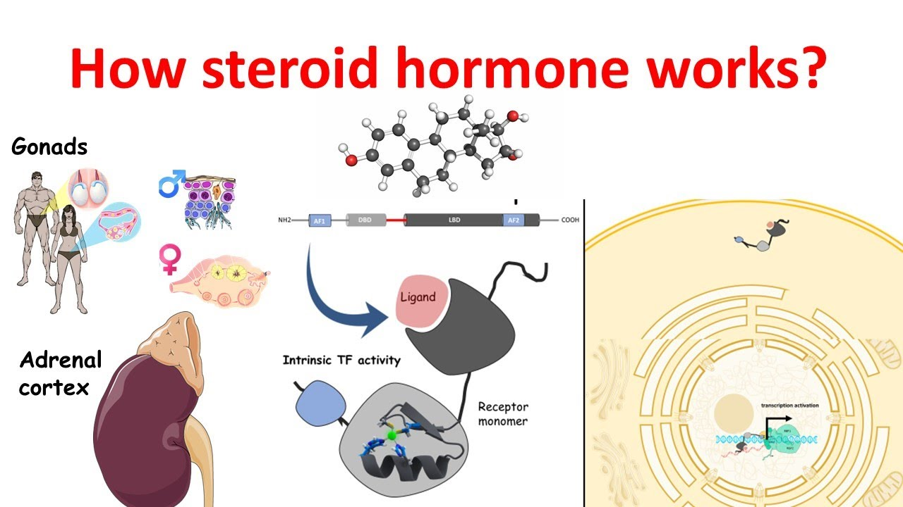 What is a steroid hormone sylvester stallone steroid
