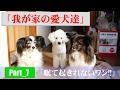我が家の愛犬「寝起きドッキリ」-パピヨン編-