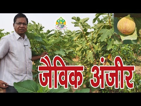 Sucess Story Of Anjeera Farming In India || Fig Farming