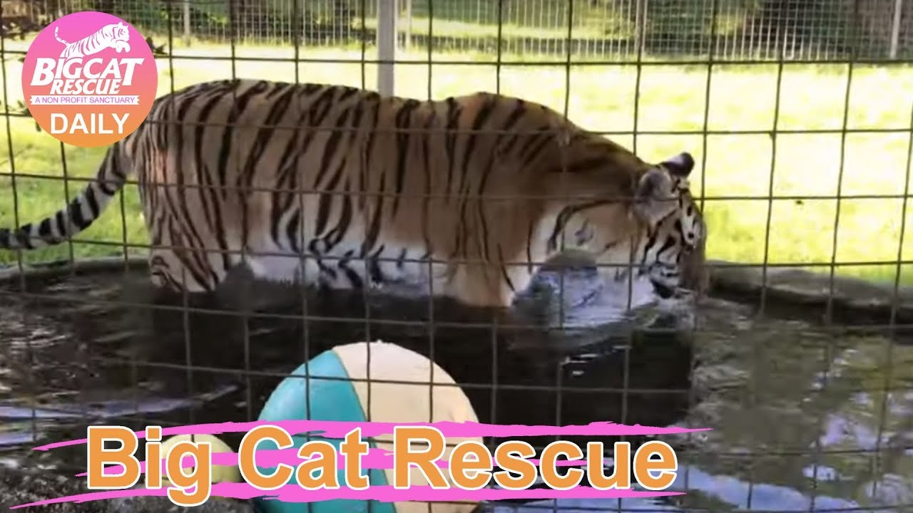 Big Cat Rescue~ 1 Kali Tiger + 1 Pond + 1 Little Yellow Ball = THREE WET  PAWS~ 4 12 2019