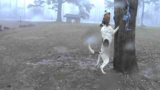Bandits Brother Ace Coon Dog Training Hunting Walkers