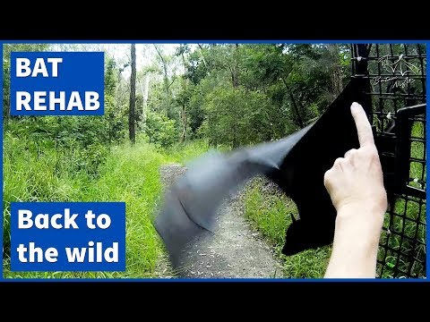 Releasing a flying fox back to the wild [Luke goes home]