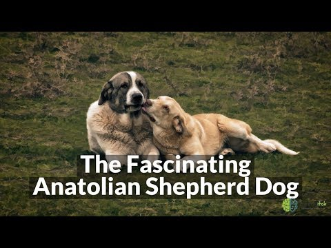 The Fascinating Anatolian Shepherd Dog