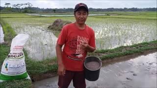 Download lagu Cara Pemberian Pupuk Dasar Budidaya Padi Organik