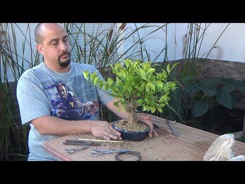 Plantando naranjo bonsai ¿Zero?