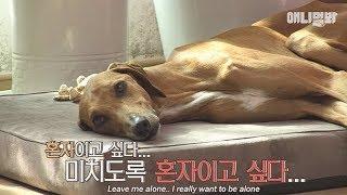 Noble dog Azawakh TJ suffering from little pugs
