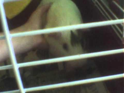 Guinea  PIG POWER  the power of the Guinea