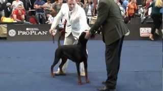 World Dog Show 2012 Salzburg Dobermann
