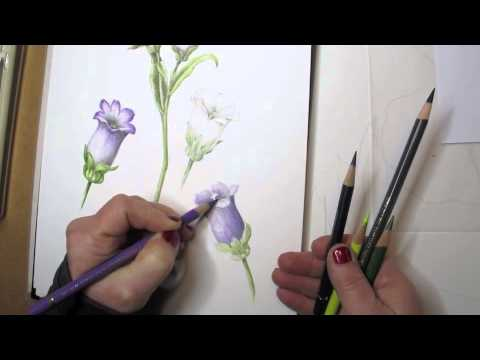 Botanical drawing basics drawing a flower in color part 2