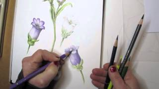 Botanical Drawing Basics - Drawing a flower in color- Part 2