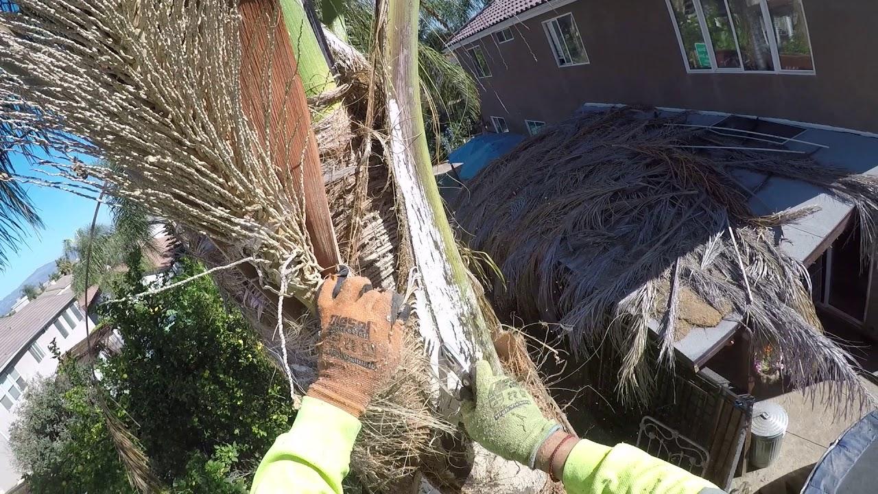 how to trim a palm tree youtube