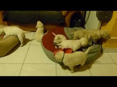 Sárga labrador kölykök - Light Of Eyes Labrador Kennel