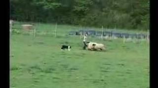 Border Collie Rescue - Sheepdog Training - Gael