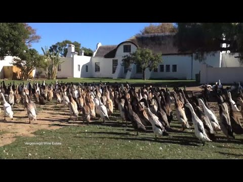 800 Running Ducks Help Make Wine