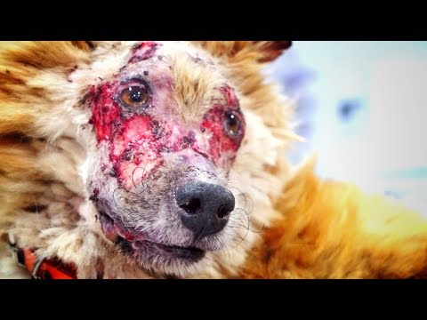 Amazing transformation of terrified dog that LOST HIS FACE