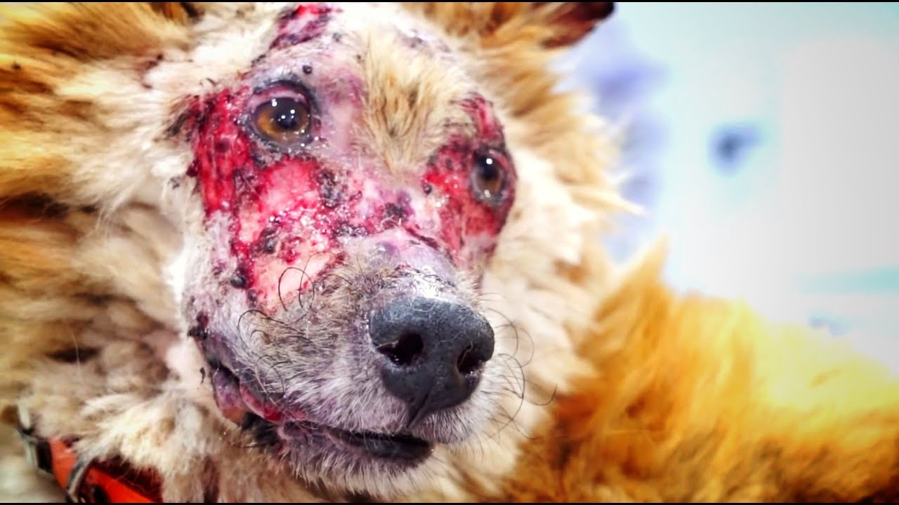 amazing-transformation-of-terrified-dog-that-lost-his-face